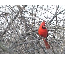 "The ""Don King"" of cardinals Photographic Print"