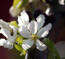 Appleblossom 2. by Nina Elise Vossen