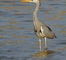 Grey Heron by Peter Bland