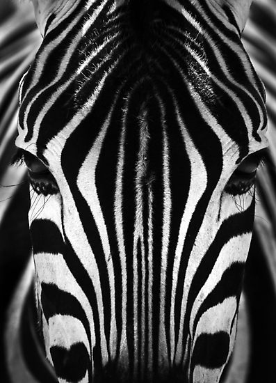 Zebra Face by Peter Bland