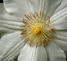 White Clematis by Jonicool