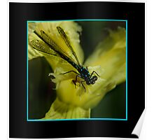 Little Miss Damselfly Poster