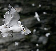 Fighting Kittiwakes by Steve Bulford