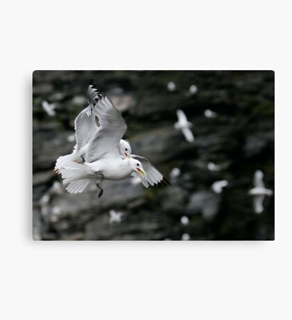 Fighting Kittiwakes Canvas Print