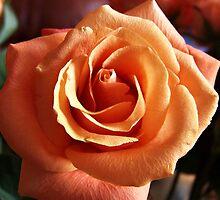 Peach Rose by Michelle Hitt