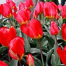Tulips by carolssecrets