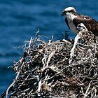 Osprey and Chick by Steve Bulford