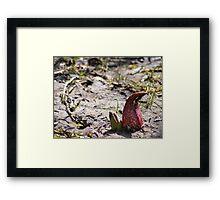 Red Skunk Framed Print