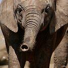 Babe - Elephant of Addo Elephant Park by Nicole Shea
