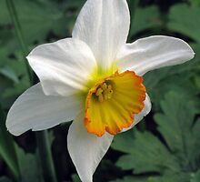 Dandy Daffodil by Betty Mackey