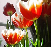 Tulips in the afternoon sun. by HEIDI  HORVATH