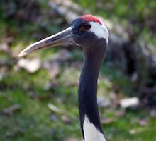 Red-Crowned Crane by BarbHoffman