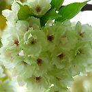 Full in bloom by TriciaDanby