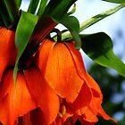 Orange bloom by donna56455
