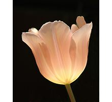 Peach Tulip Photographic Print