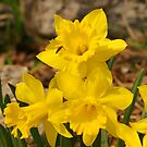 Daffodils by Mary Kaderabek-Aleckson