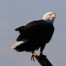 Bald Eagle by Dennis Cheeseman