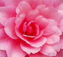 A Second Camellia by Tim Fenton