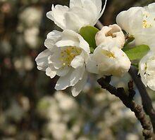 Apple Blossom Freehold, NJ by Scottzye