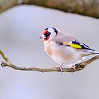 Goldfinch, County Kilkenny, Ireland by Andrew Jones