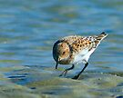 Sandpiper by Mary Campbell