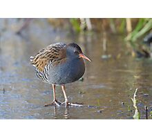 Water Rail -  Rallus Aquaticus Photographic Print