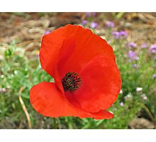Red Flanders Poppy Photographic Print