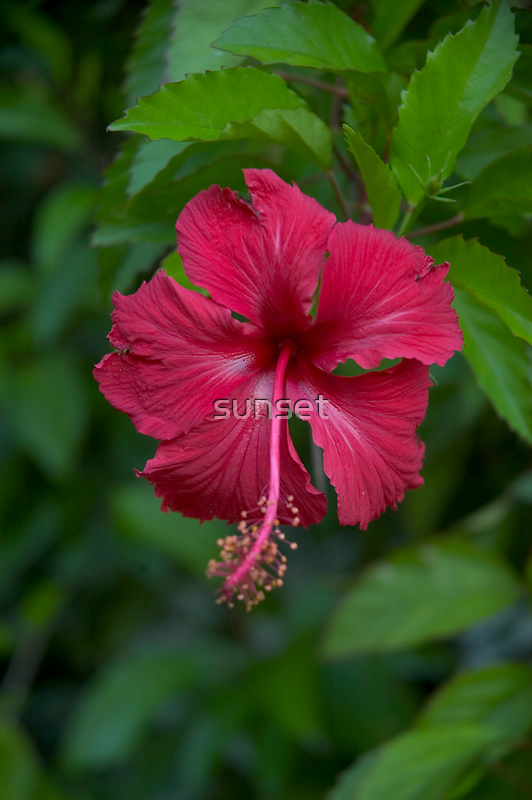 hibiscus by sunset