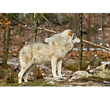 Solitary Timber Wolf Photographic Print