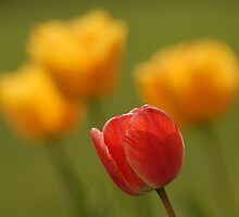 Tulips - A Season of Spring by Ryan Houston