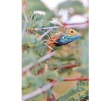 Blue Headed Lizard - Peeking Out Photographic Print
