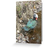 Muscovy Hen, Preening Greeting Card