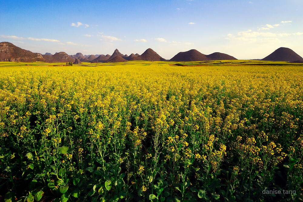 Canola fields in Luo Ping by danise tang