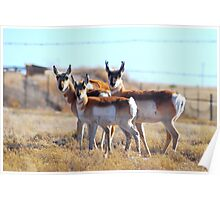 Trio of Pronghorn Poster
