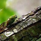 Central Texas Cicada by Sandra Moore