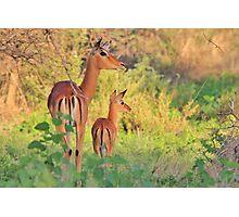 Impala - African Wildlife - Adorable New Life Photographic Print