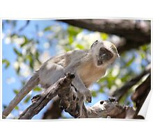 African Monkey. Poster