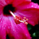 Hibiscus by Sandra Moore