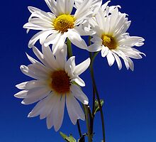 Daisy Daze by NaturalPhotos