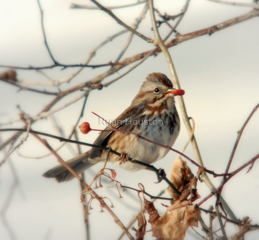 Song Sparrow and Red Berry by Ryan Houston