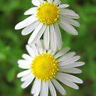 White & Yellow by Sandra Moore