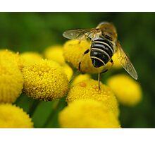 Hairy Bum(ble) Bee Photographic Print