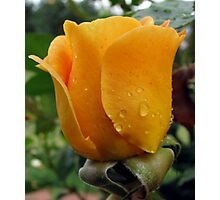 Apricot Rose Photographic Print