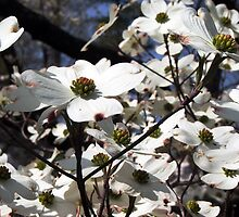 Dogwood Petals by Perspective