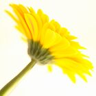 Yellow Gerbra flower  by NKSharp