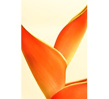 Orange Heliconia on white background Photographic Print