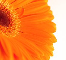 Orange Gerbra on white background by NKSharp