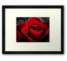 Red in the Rose Framed Print
