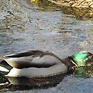 Mallard Duck, New York Botanical Garden, Bronx, New York by lenspiro