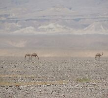 Camels in Jordan by ashbish14